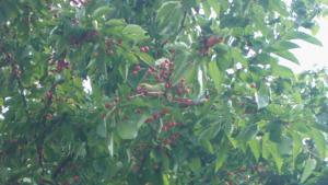 Zoek de parkiet tussen de kersen.. wat een goede schutkleur hebben ze toch!! Geeft helemaal niks, het is namelijk geen lekkere kers.. het zijn bittere boskersen! In nog minder dan twee dagen hebben een dertigtal parkieten, ca 8 duiven en een hele lading merels en lijsters de hele boom leeg gegeten!