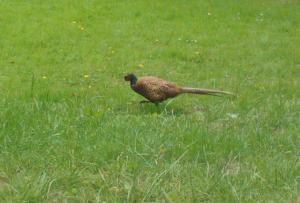 Terug van weggeweest! Na drie jaar is deze ietwat schuwe maar sierlijke fazant weer terug, waar zat hij toch al die tijd?!